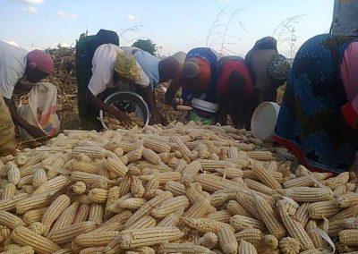 Congregation harvesting maize